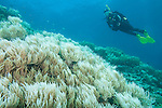 Bligh Waters, Vatu I Ra Passage, Fiji; a scuba diver hovers over a field of golden, leather soft corals at Wheatfields dive site