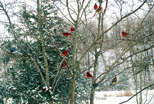 Gang of cardinals and one bluejay meeting in a birch tree in winter: gbi.photoshelter.com/image/I000088zQ7KCvC0I