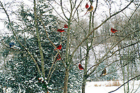 Gang of cardinals and one bluejay meeting in a birch tree in winter