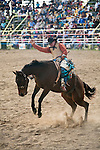 Bareback bronc rider in action at Mareeba Rodeo.  Mareeba, Queensland, Australia