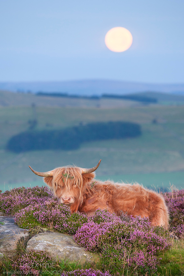 Highland cow in heather on Curbar Edge with moon setting, Peak District National Park, Derbyshire. August.