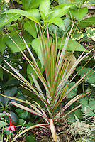 Dracaena marginata 'Tricolor' houseplant in garden with Alchemilla mollis lady's mantle, Hydrangea macrophylla, Helleborus, Fuchsia, fern Athyrium nipponicum var pictum, Contrast geranium Pelargonium