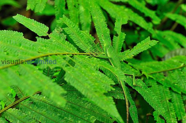Green Crested Lizard camouflaged on leaves (Bronchocela cristatella),  Gunung Leuser National Park, Northern Sumatra, Indonesia