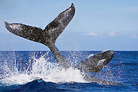 A humpback whale (Megaptera novaeangliae) throwing peduncle while the other competing whale breaches during a heat-run near Kohola, Big Island.