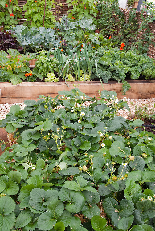 Strawberries growing in vegetable and fruit garden, in bloom flowering