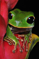 Black-eyed Alien Monkey Tree Frog (Phyllomedusa gamba)