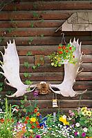 Moose antlers on log cabin, Eagle Alaska