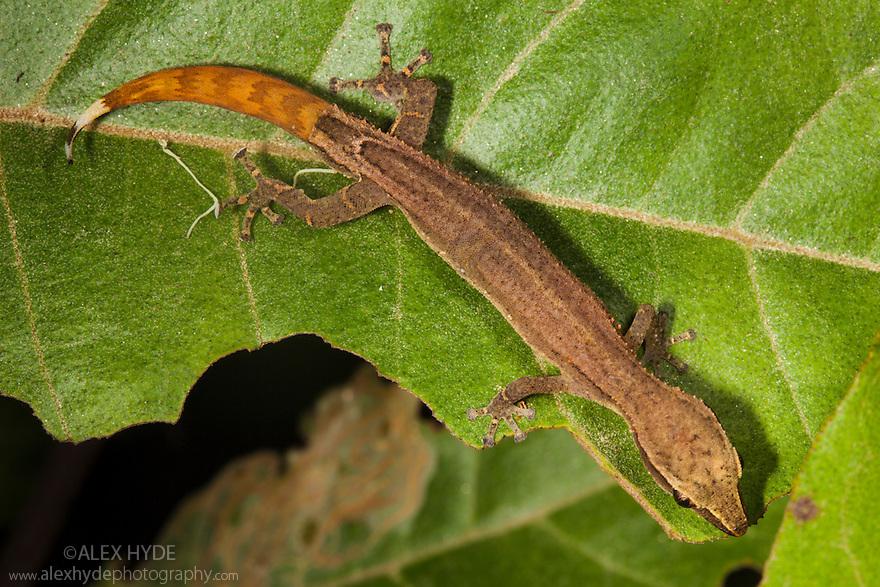 Madagascar Clawless Gecko {Ebenavia inunguis} in tropical rainforest at night. Masoala Peninsula National Park, north east Madagascar.
