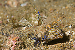Anilao, Philippines; a solitary, male Fingered Dragonet (Dactylopus dactylopus) fish,  'walking' across the sandy bottom
