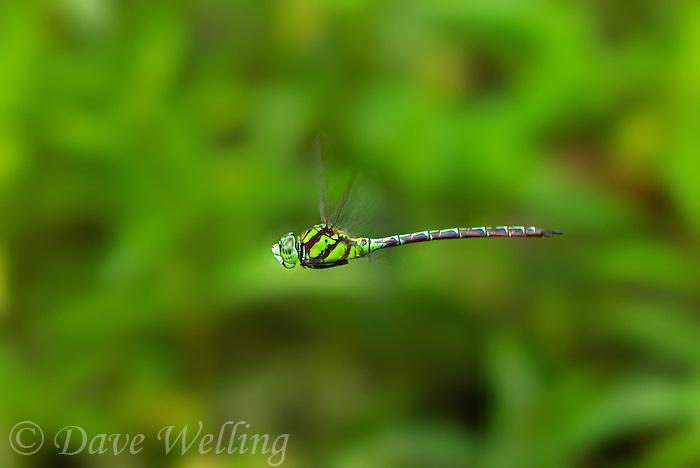 339550002 a wild male malachite darner remartinia luteipennis flies over a small stream near empire creek las cienegas natural area santa cruz county arizona united states