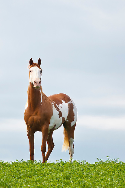 Brown and white paint Arabian horse standing on grass looking at camera