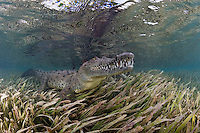 TH3962-D. American Crocodile (Crocodylus acutus) rests in a bed of seagrass. They can swim as fast as 20 mph in short bursts. Males are larger than females, averaging 11 and 9 feet long respectively. Hatchlings average 10 inches and begin life feeding on insects, eventually switching to fish, invertebrates, mammals and carrion. Cuba, Caribbean Sea.<br /> Photo Copyright &copy; Brandon Cole. All rights reserved worldwide.  www.brandoncole.com