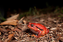 Tomato frog {Dyscophus antongili} on forest floor. Maroantsetra, Northeast Madagascar