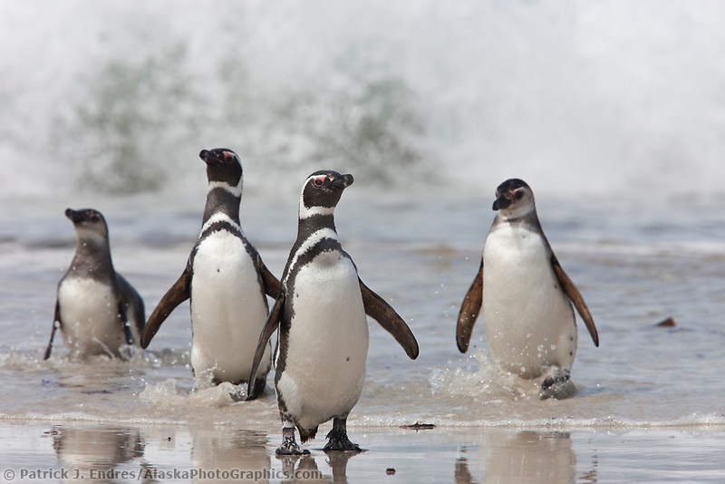 Magellanic penguins, coming ashore on a sandy beach on New Island, Falkand Islands, after feeding on fish, squid, krill, and other crustaceans.