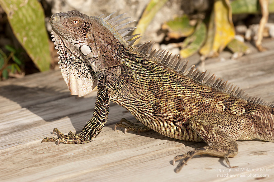Bonaire, Netherlands Antilles; an adult Green Iguana (Iguana iguana) warms itself in the sun on the wood deck by the swimming pool at Captain Don's Habitat , Copyright © Matthew Meier, matthewmeierphoto.com All Rights Reserved