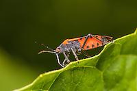 A False Milkweed Bug (Lygaeus turcicus) perches on the edge of a leaf.