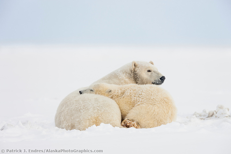 Polar bear cub rests on mom's back, arctic Alaska.