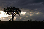 Dramatic clouds build in the evening sky over a &quot;Sausage tree&quot; in Kidepo Valley National Park in northeastern Uganda April 12, 2004. About 1,500 African Elephants live in the very remote Kidepo Valley National park in northeastern Uganda. Tourists only reach the park by chartered excursions. (Rick D'Elia)<br />
