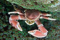 Porcelain crab, Neopetrolisthes maculata, on anemone.  Mabul Island, Malaysia.