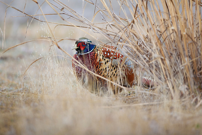 Rooster Pheasant in Montana at the Lee Metcalf Wildlife Refuge in the Bitterroot Valley
