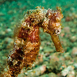 "This red seahorse was out swimming freely along the sandy bottom in the Lembeh Strait (North Sulawesi, Indonesia).  There was noplace nearby where he could cling with his prehensile tail.  Seahorses without attachment in the wild don't appear to be swimming deliberately -- they seem to me to twist and roll apparently randomly in the current or wave surge.  Yet however undirected it may appear, I found that somehow, the little creature always contrived to face away from my camera.  Eventually, I learned that with care and calm movements, I could use my bare hand to ""herd"" the horse; by extending my hand beyond the seahorse I could induce the little critter to turn itself back toward the camera for a nice profile shot.  (It wasn't always easy to take the photo with one hand while the other was extended beyond the frame, being careful not to touch the seahorse, stir up sand, or interfere with my own shot.)"