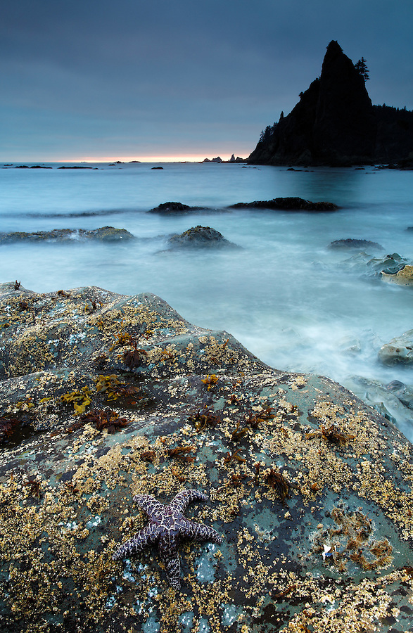 Seastar and sea stack at dusk, Rialto Beach, Olympic National Park, Washington State, USA