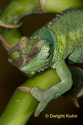 CH35-536z  Male Jackson's Chameleon or Three-horned Chameleon, close-up of face, eyes and three horns, Chamaeleo jacksonii