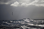 Albatross. Sub Antarctic ocean. Wave breaking.