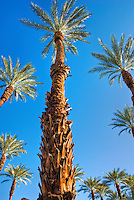 Palm Desert; Ca;, palm tree, palm family, Arecales, Fan Palm, American Cotton palm, Arizona Fan Palm,