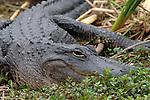 American Alligator, Alligator mississippiensis,adult resting on edge of bank, Everglades National Park, predator.USA....