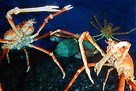 Japanese spider crabs (c).Macrocheira kaempferi, the largest crab .in the world, grows up to 3m in leg span, .endemic to Japan, found in deep sea