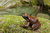 Italian Stream Frog (Rana italica) near a stream, Italy.