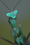 African Mantis, Sphodromantis stalli, green, on leaf, with arms raised ready to strike, portrait