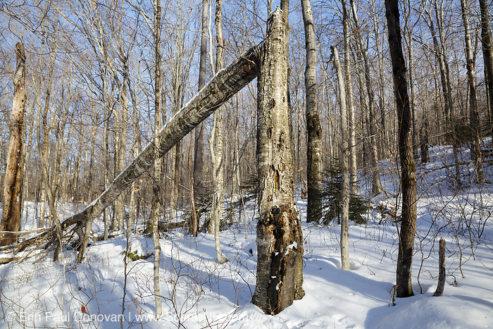 Franconia Notch State Park - Snapped birch tree in the area known as Hardwood Ridge in Lincoln, New Hampshire USA during the winter months.