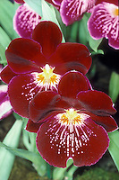 Miltonia Celle - waterfall type Pansy Orchid hybrid Miltoniopsis