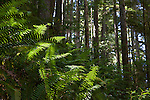 Ferns in the forests of Olympic National Park, Washington State, WA, USA