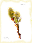 Wooly willow catkins, Scotland