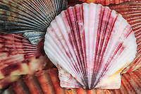 Scallop shell close-up.