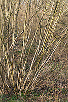 Corylus avellana - Hazelnut tree
