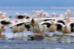 White pelicans, Lake Nakuru National Park, Kenya