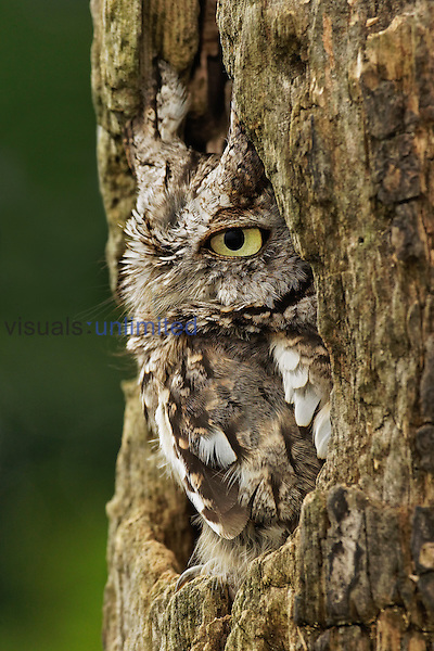 Eastern Screech Owl in Gray Phase (Otus asio), Eastern USA.