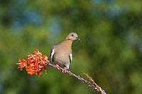 518240030 a wild white-winged dove enaida asiatica perches on a flowering ocotillo plant foqueria splendens in green valley arizona