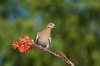 518240030 a wild white-winged dove enaida asiatica perches on a flowering ocotillo plant foqueria splendens in green valley arizona