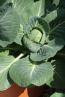 Brassica (cabbage) Castello in container pot vegetable growing in garden