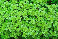 Sedum makinoi Limelight plant portrait of foliage succulent leaves