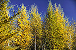 Tamarack trees  Larix laricina, Eastern Larch in late autumn