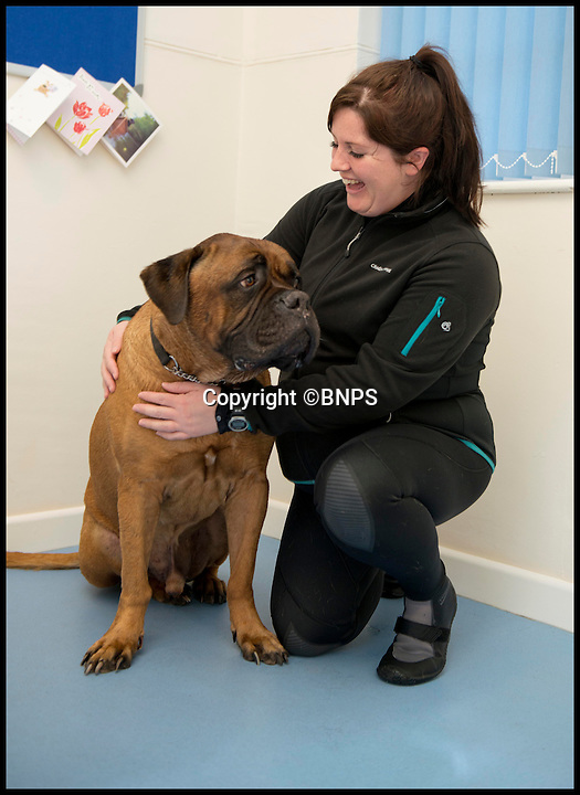 BNPS.co.uk (01202 558833)<br /> Pic: LauraDale/BNPS<br /> <br /> Loki poses with Joanna Cubbin (31) at Pet Waves in Dinton, Wiltshire.<br /> <br /> Swim yourself thin... A greedy mastiff has swum himself into shape after staff at a hydrotherapist in Wilton, Wiltshire, hit upon the idea of a trail of cakes to encourage the portly pooch.<br /> <br /> Overweight dog Loki, who loves to munch human food, has been swimming his way slim by chasing a plastic Christmas pudding and burger around the pool.<br /> <br /> The five-year-old bull mastiff has shed 20lbs following a strict diet of low-calorie pet food and regular swimming sessions to battle the bulge and his osteoporosis.<br /> <br /> Loki goes to Pet Waves hydrotherapy pool in Wiltshire once a week where hydrotherapist Joanna Cubbin gets him to work hard for his plastic food.