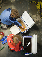 The water in one cooler is brown with algae collected from a bloom, Bering Sea. A scientist is catching zooplankton in another cooler with a spoon.