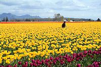 Tulip Field and tulip farm worker in Skagit County, WA, near Mt. Vernon, WA.