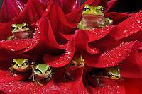 Pacific Chorus Tree Frogs (Hyla regilla)